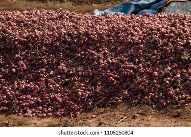 Red Onions Manually Harvesting At Rural Areas Around Coimbatore, Tamil Nadu, India