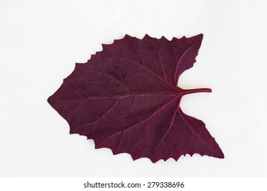 Red Orach, Atriplex hortensis, odl vegetable and medicinal plant