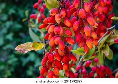 Red orange Berberis Fruits on branch in autumn garden, close up, macro. Ripe European barberry berries ready for harvesting. Berberis vulgaris or Berberis thunbergii Latin Coronita plant