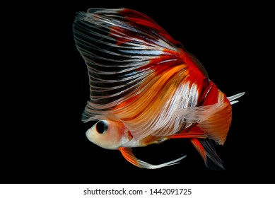 """Red and Orange Betta with a transparent tail, Siamese Fighting fish """"Fancy Halfmoon Betta"""" The moving moment beautiful of betta fish in Thailand, Rhythmic of Betta fish isolated on black background."""