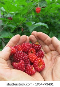 Red and orange edible berries held in cupped hands