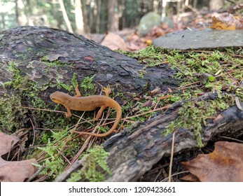 Red orange eft or red-spotted newt on mossy tree bark on forest floor with leaves closeup