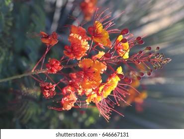 red and orange flowers / caesalpinia