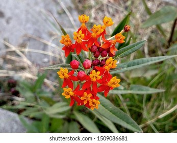 Red and orange flowers of Mexican Butterfly Milkweed in a summer garden