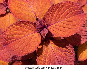 "Red and orange foliage of coleus ""Campfire"""