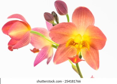 Red orange ground orchids or Spathoglottis Plicata orchids over white background