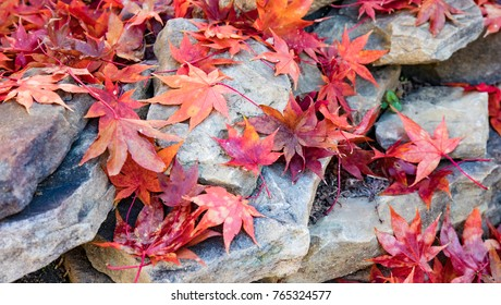 Red and orange Japanese maple leaves scattered on a low rock wall.