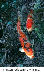 Red and orange koi carp swimming