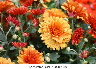 Red orange Korean chrysanthemum. Hardy chrysanthemums close up. Chrysanthemum koreanum.  Background with blossoming a chrysanthemum.  Chrysanthemum flowers horizontally.  Copy space