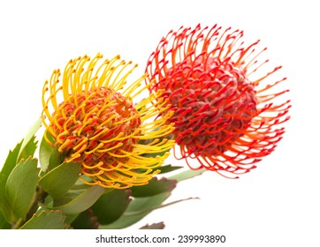 red and orange protea flowers isolated on white background