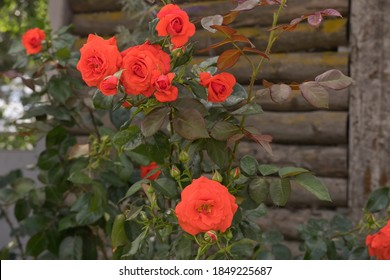 Red - orange roses with green leaves on the background of a wooden wall on a sunny day