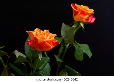 Red and orange roses isolated on black