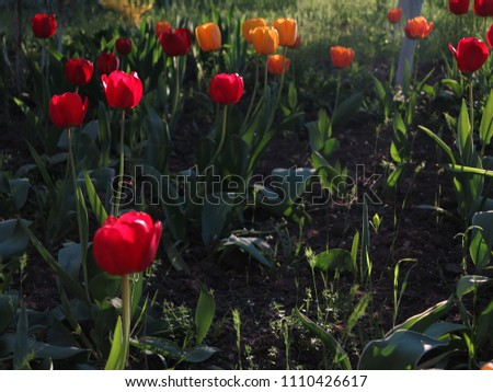 Red Orange Tulips Spring Flowers Horizontal Stock Photo Edit Now