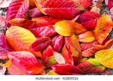 Red, Orange and Yellow Autumn Leaves Background - wet blueberry leaves