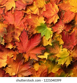 Red, orange, yellow and green maple leaves background. Golden autumn concept. Sunny day, warm weather. Top view. Banner. Square crop.