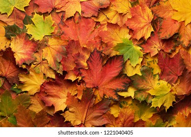 Red, orange, yellow and green maple leaves background. Golden autumn concept. Sunny day, warm weather. Top view. Banner