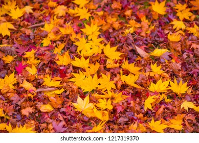 Red, orange and yellow maple tree fall in the garden with golden sunlight and blurred background, JapanRed maple leaves/ branches in autumn season background
