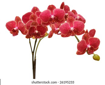 red orchid branch