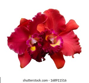 Red Orchid flower - Cattleya isolated on white background