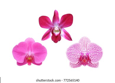 Red Orchid Flower isolated on white background