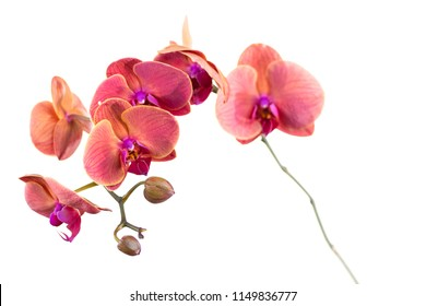 Red orchid flower on white background. Isolated.