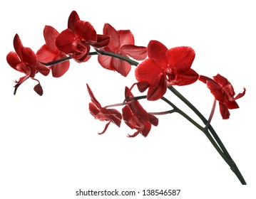 red orchid flowers isolated on white background