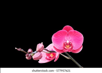 Red orchid isolated on black background