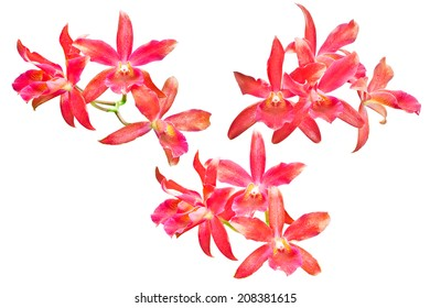 Red orchid isolated on white