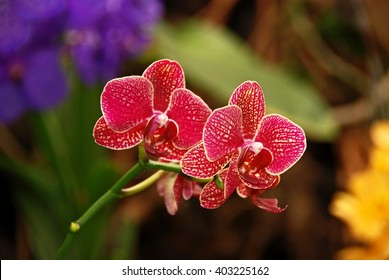 Red orchid, queen of flowers. Tropical garden.