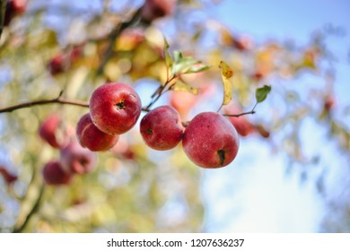 red organic apples on the tree