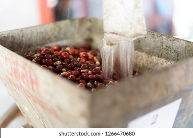 red organic coffee cherry pulping in coffee processing, selective focus