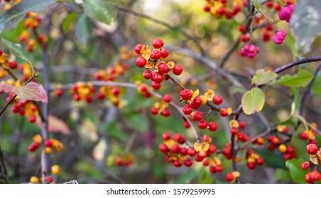 Red Oriental Bittersweet Berries on a Vine