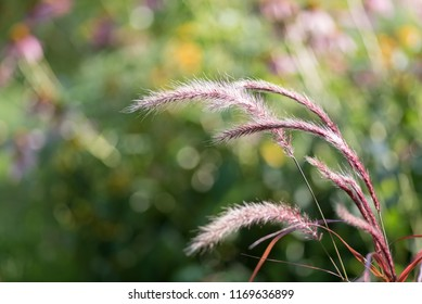 red ornamental prairie grass plant blowing in wind in summer with bokeh