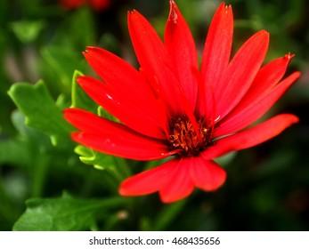 red osteospermum flowers