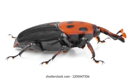 The red palm weevil, Rhynchophorus ferrugineus, is a species of snout beetle also known as the Asian palm weevil or sago palm weevil