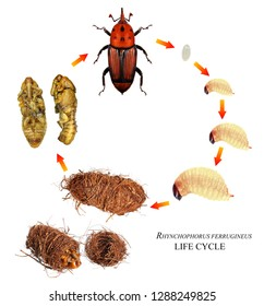 Red palm weevil (Rhynchophorus ferrugineus) is one of the main pest of date palm trees plantations. Development stages isolated on a white background