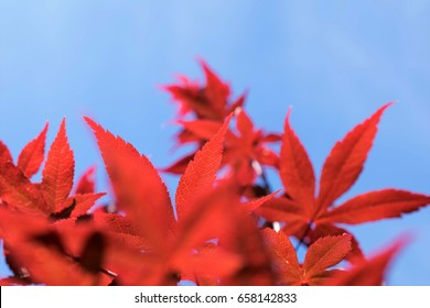 Red palmatum maple in sunlight blue background