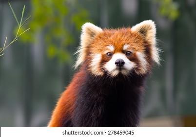 Pandaroux Images Stock Photos Vectors Shutterstock