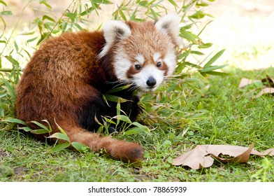 Red Panda (Ailurus fulgens) in autumn