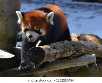 The red panda (Ailurus fulgens), also called lesser panda and red cat-bear, is a small arboreal mammal native to the eastern Himalayas and south-western China