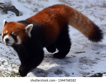 The red panda (Ailurus fulgens), also called lesser panda and red cat-bear, is a small arboreal mammal native to the eastern Himalayas and south-western China.