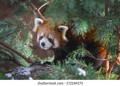 red panda - Ailurus fulgens, also called lesser panda and red cat-bear