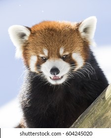 Red panda (Ailurus fulgens), also called the lesser panda, the red bear-cat, and the red cat-bear