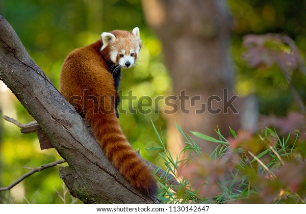 The red panda (Ailurus fulgens), also called the lesser panda, the red bear-cat, and the red cat-bear, is a mammal native to the eastern Himalayas and southwestern China