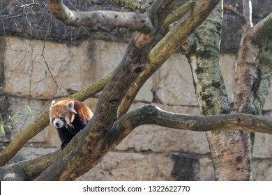 The red panda (Ailurus fulgens) is a mammal native to the eastern Himalayas and southwestern China. It is listed as Endangered.