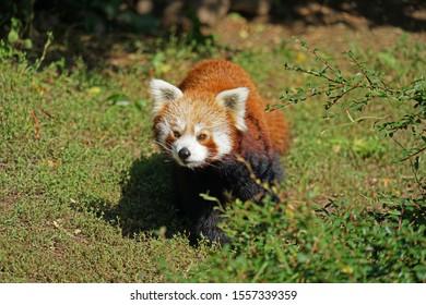 Red panda (Ailurus fulgens) running on grass in China