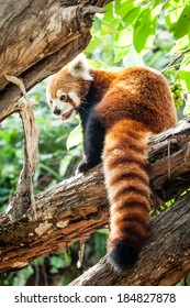 Red Panda (Ailurus fulgens) sitting on a branch of a tree in sunlight with mouth open