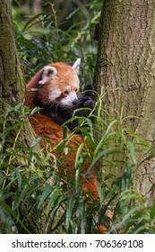 Red panda (Ailurus fulgens) sitting in tree