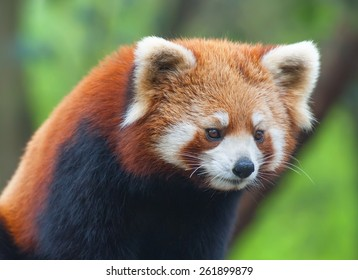 Red panda bear close-up