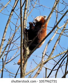a red panda bear in a tree with blue sky and sunshine